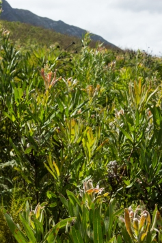Proteas in the Marloth Nature Reserve