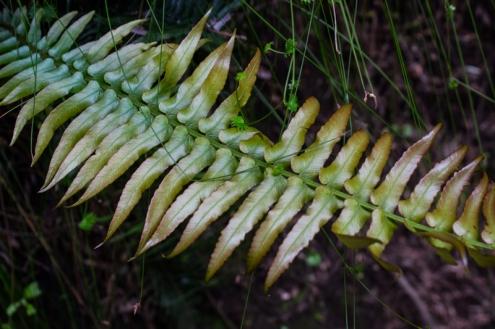 New fern frond