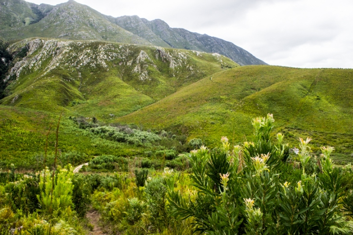 Marloth Nature Reserve with protea bushes in the foreground
