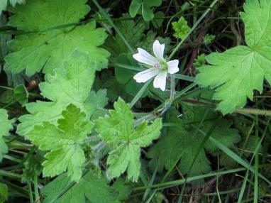 A species geranium