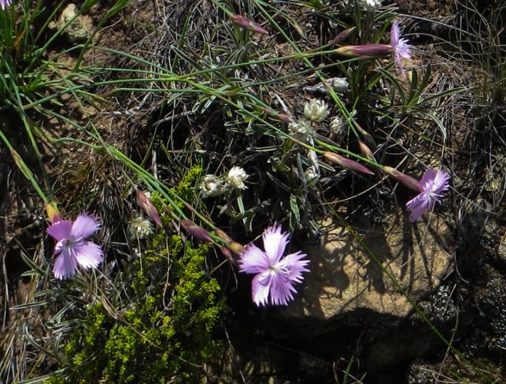 Wild dianthus