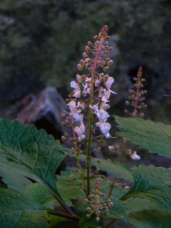Pretty mauve flowers in the Ravine
