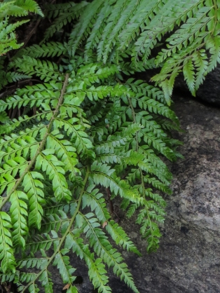 Ferns in the Ravine