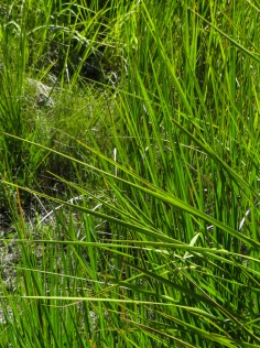 Grass in the Golden Gate National Park