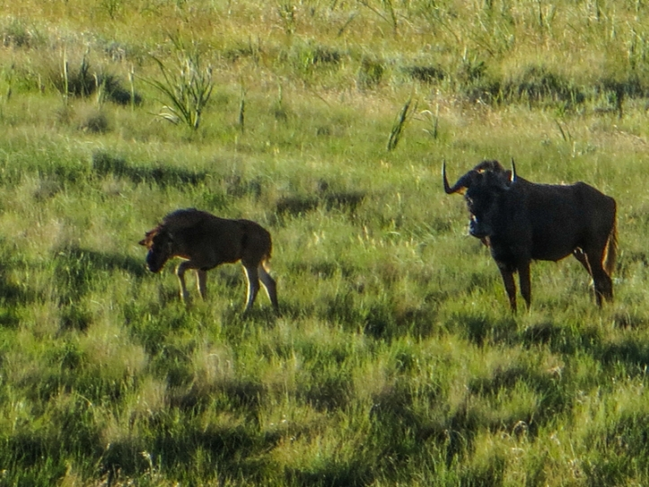 Wildebeest in the Golden Gate National Park