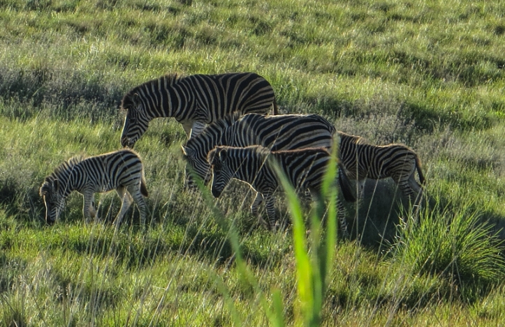Zebra in the Golden Gate National Park