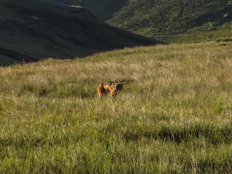 Cape Jackal in the Golden Gate National Park