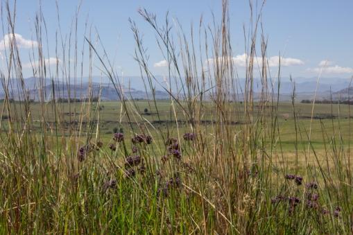 Verbenas in the Eastern Free State
