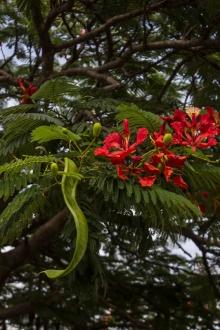 Flamboyant Tree in flower in Graaff Reinet