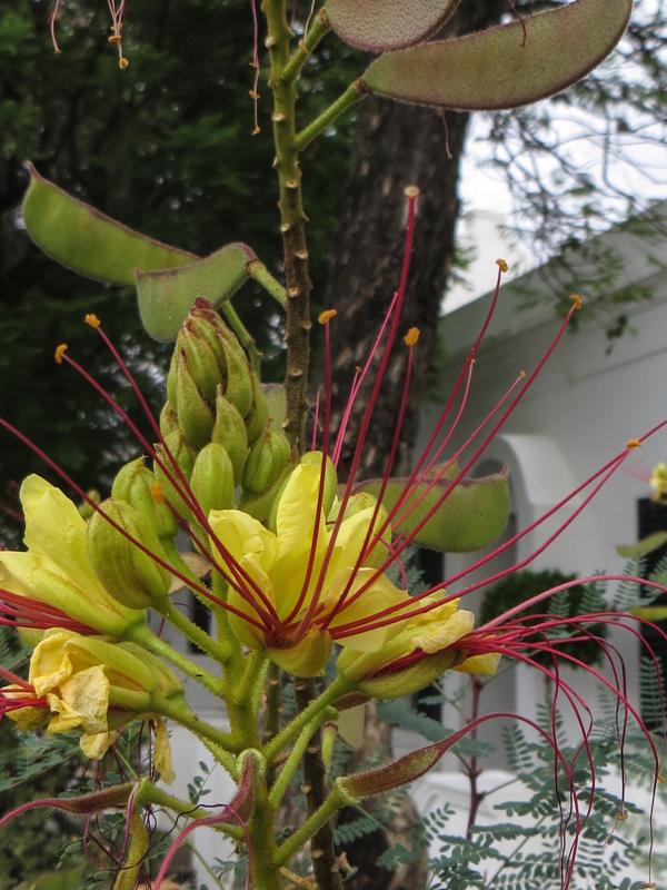 'Bird of Paradise' Tree - Caesalpinia Gilliesii, native to South America