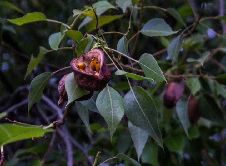 Erythrina Caffra seed pods
