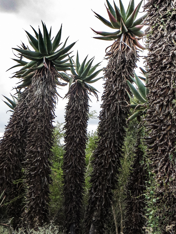 The aloes on The Aloe Trail