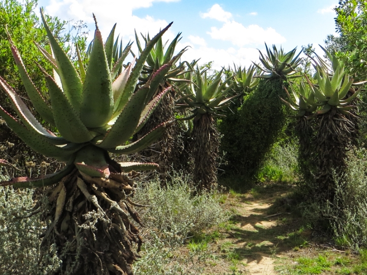 And more aloes!