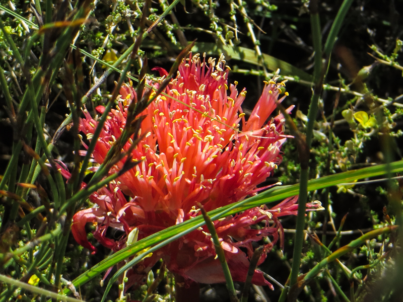 Paintbrush plant