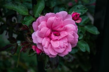Roses in Swellendam