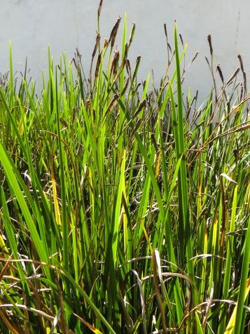 Wild iris in the Drostdy garden