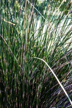 Thatching reed