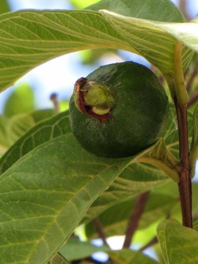 Guava tree at the Schreuderhuis
