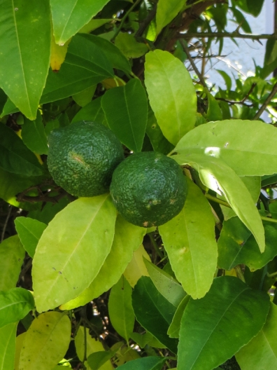 Lemon tree at the Schreuderhuis