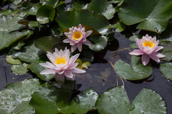 Water lilies in the reflecting pool, Vergelegen