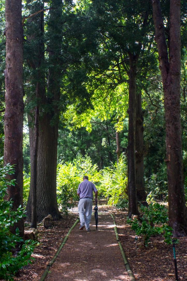 In the Camellia woods at Vergelegen