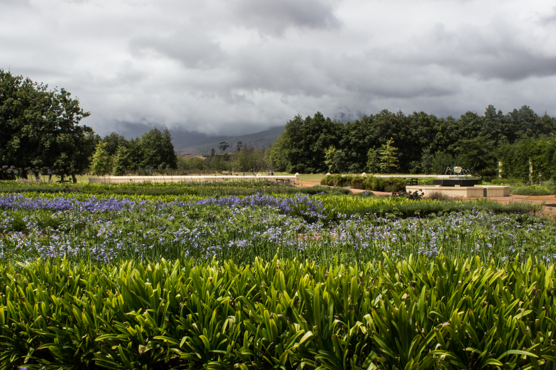 The agapanthus fields at Vergelegen