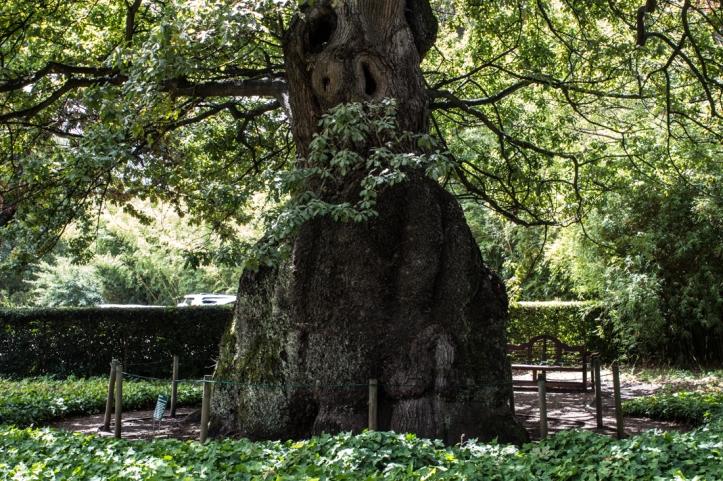 The old oak, probably planted by Willem Adriaan van der Stel