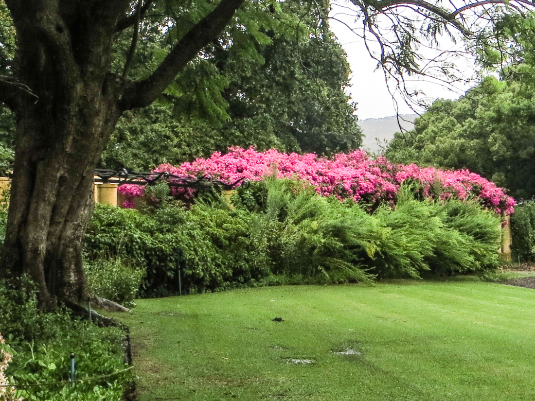Bouganvillea in the garden at Vergelegen
