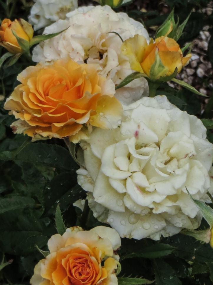 Roses at Vergelegen