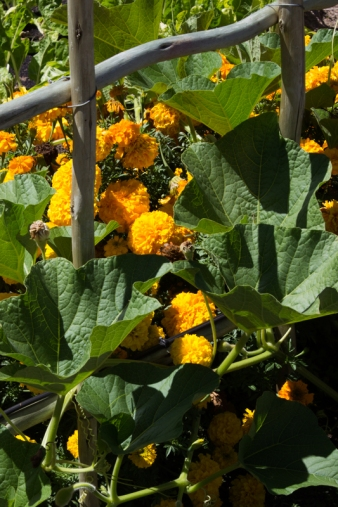 The vegetable garden at Boschendal