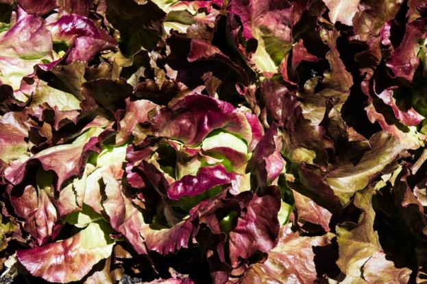 Boschendal vegetable garden
