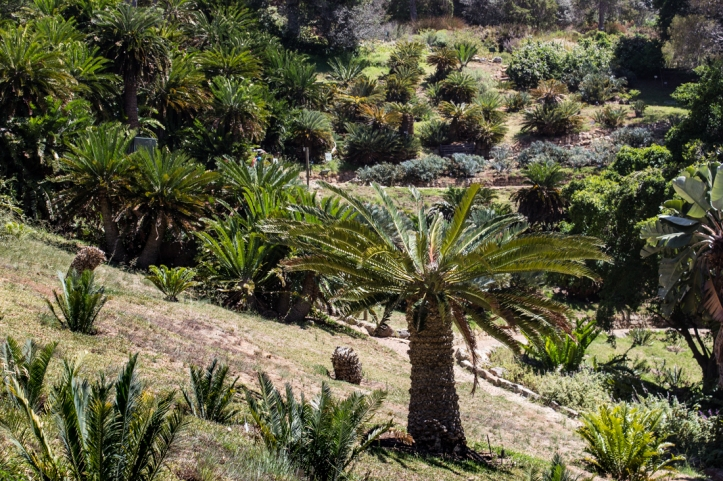 The Cycad Amphiteatre at Kirstenbosch today