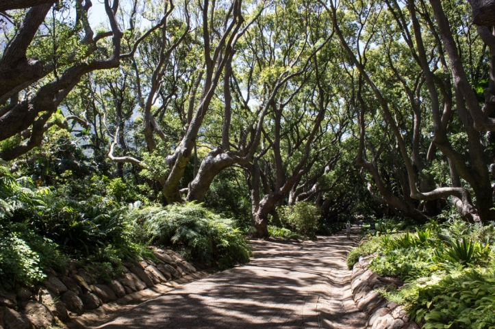 The Avenue of Camphor Trees at Kirstenbosch