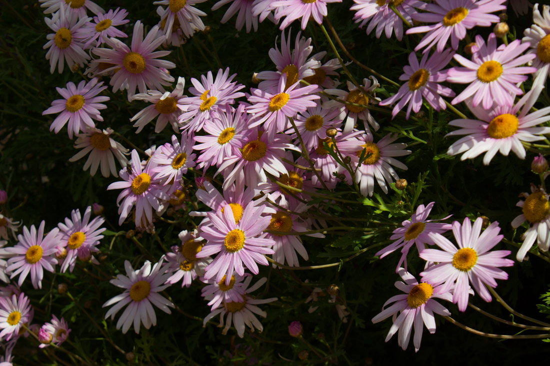 Daisies at the Terena Castle main gate