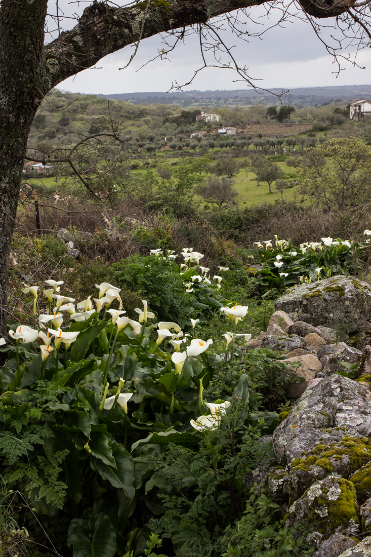 Arum Lilies below Carreiras