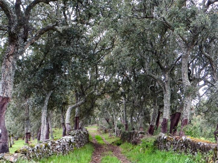 Cork oaks at Galegos