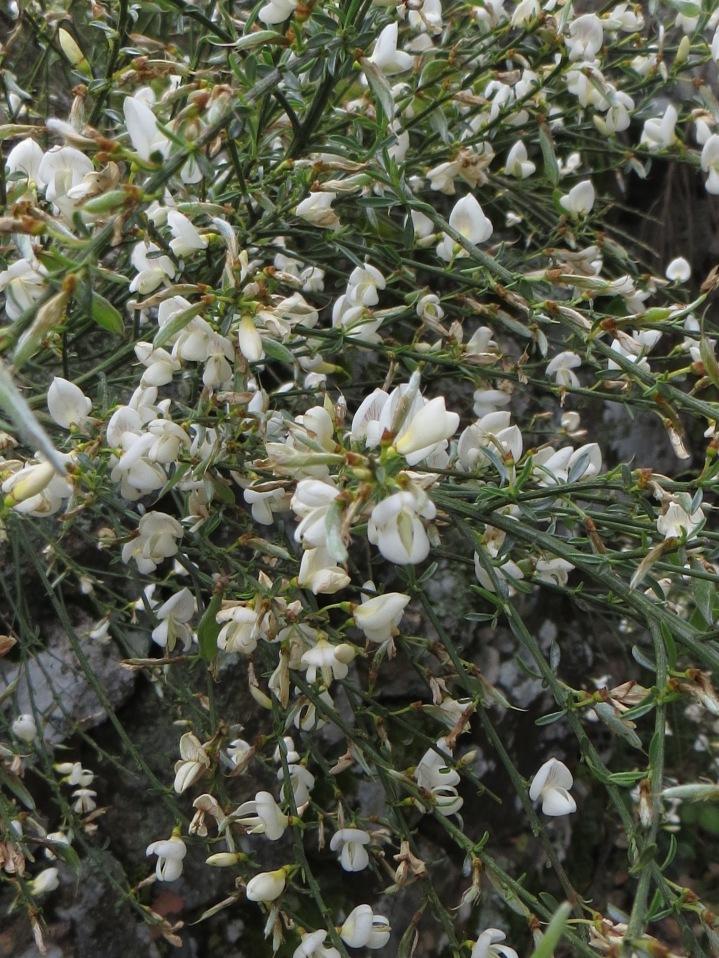 White Spanish broom - cytisus multiflorus