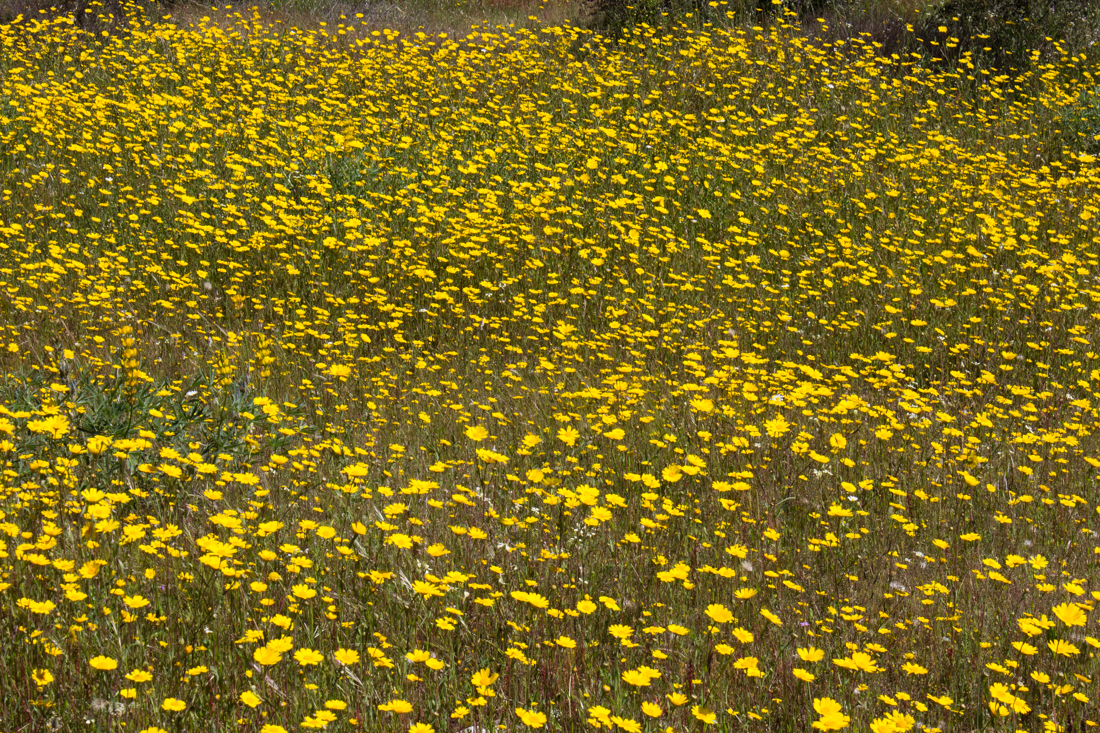Yellow daisies in the Alentejo