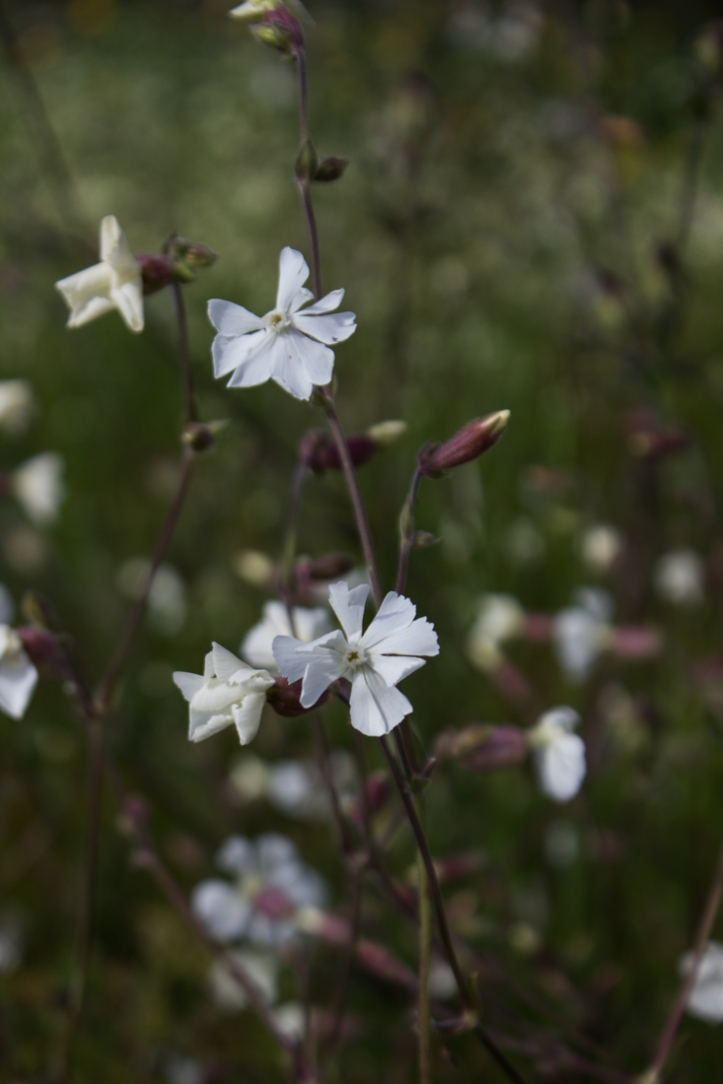 White Field Campion