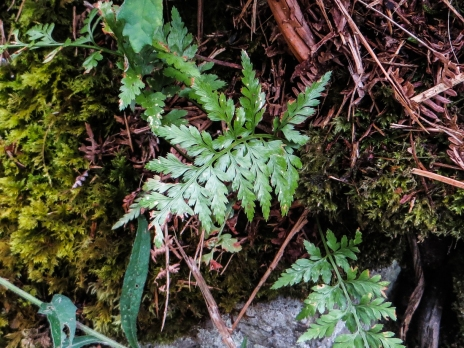 A variety of Dryopteris?