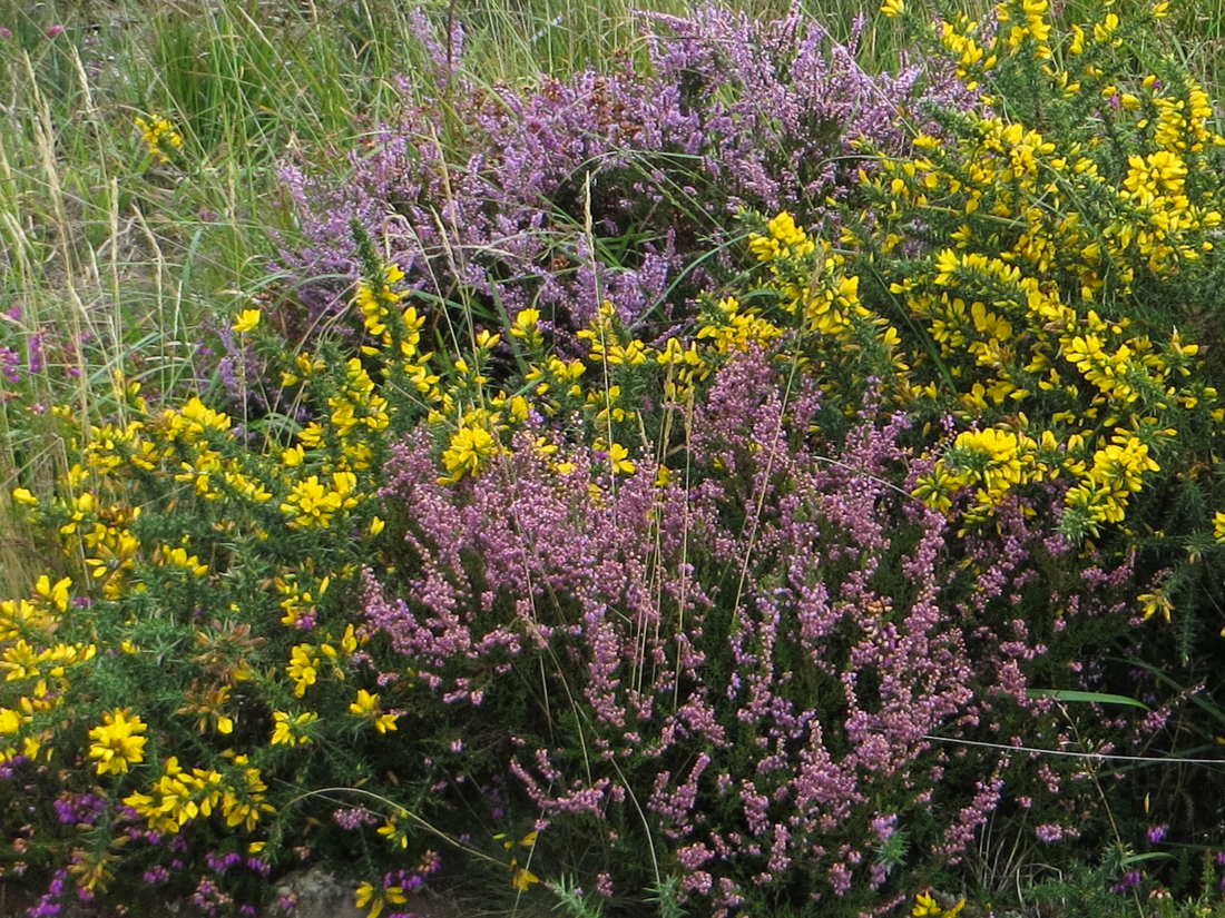 Heather and gorse on the GR380