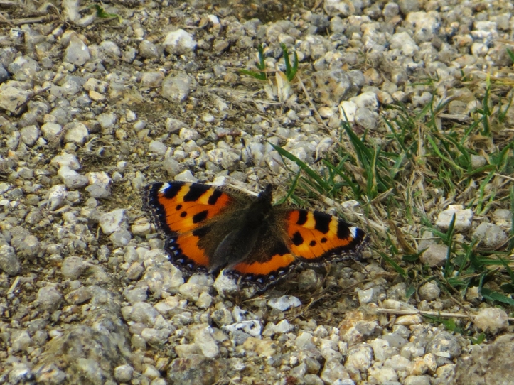 Small tortoiseshell butterfly drying its wings