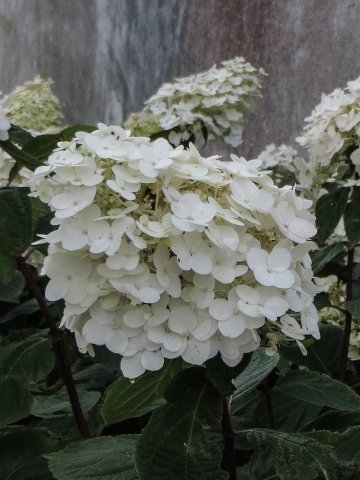 Hydrangea paniculata in Plouneour-Menez