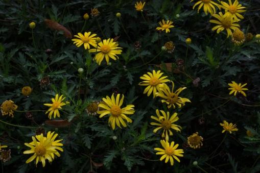 Yellow daisies...