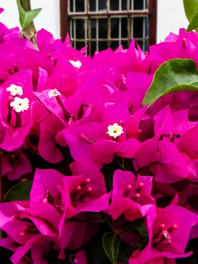 Bouganvillea in Wellington