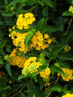 Lantana in Wellington