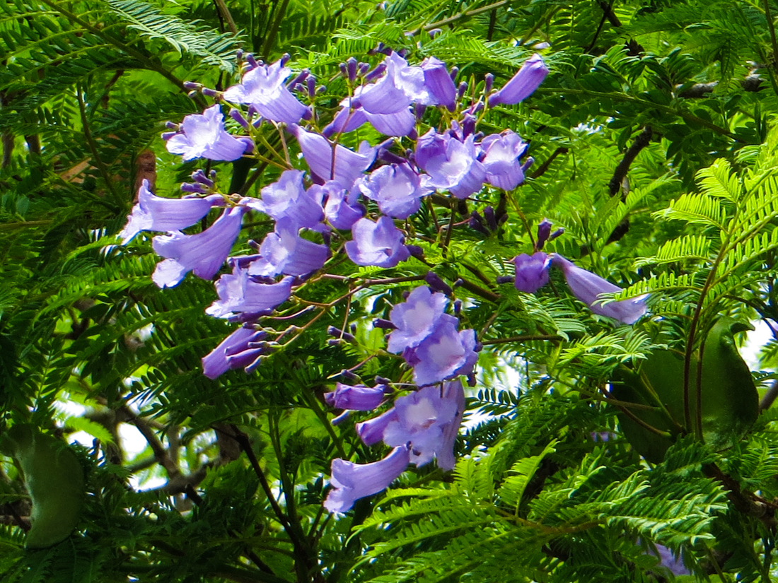 Jacaranda flowering in Wellington