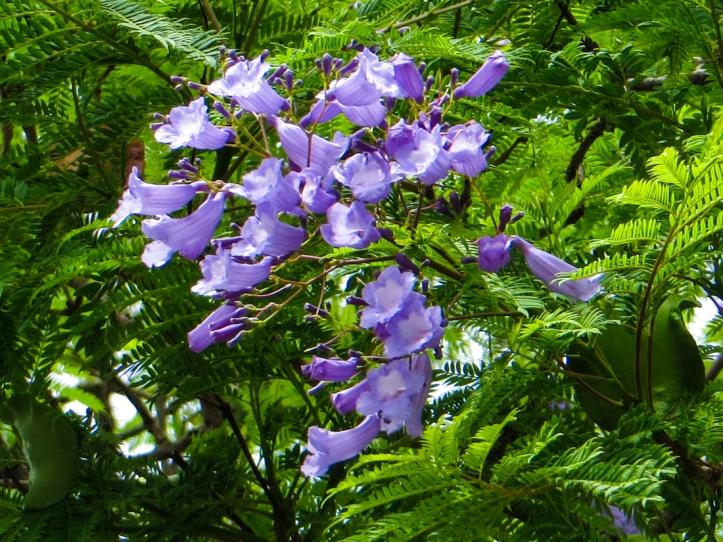 Jacaranda flowering in Wellington