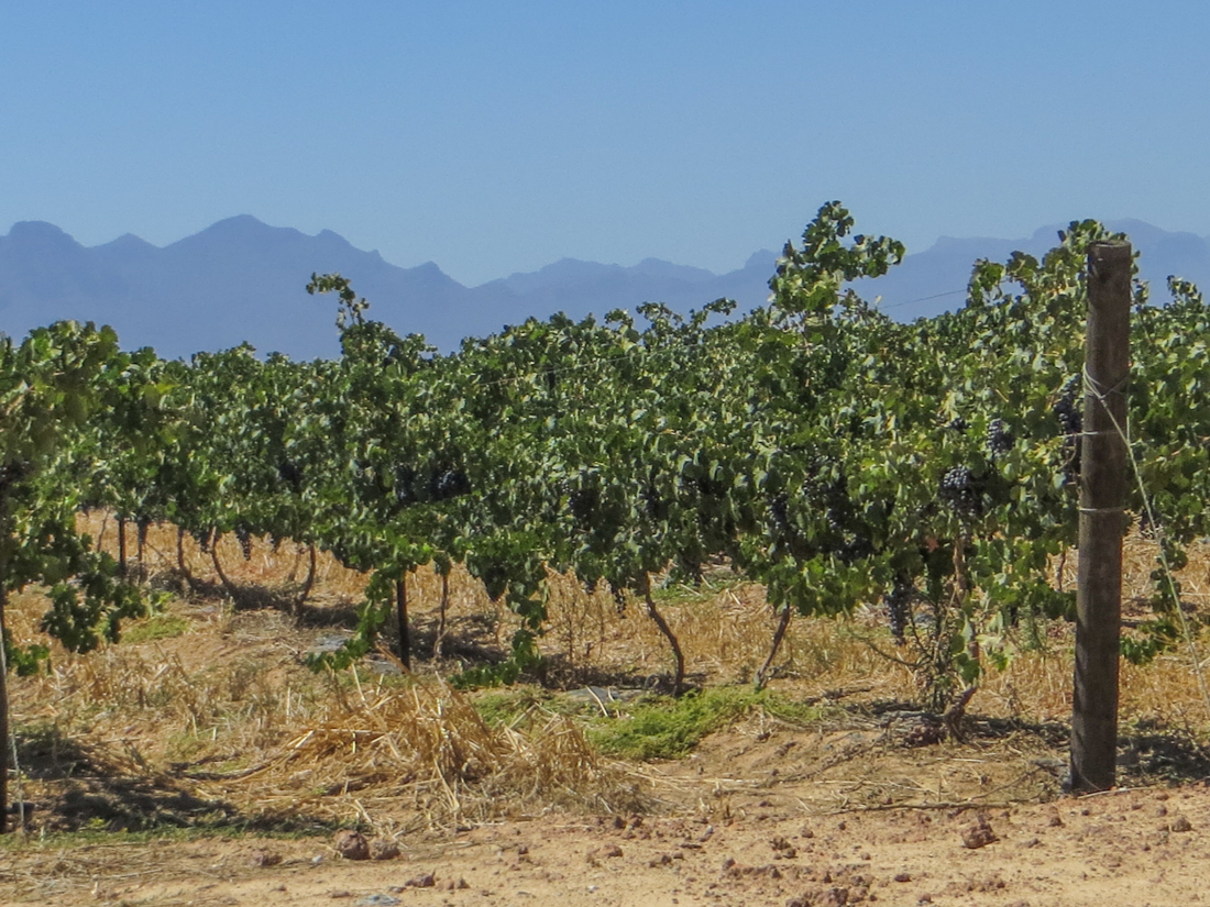 One of the many Swartland vineyards