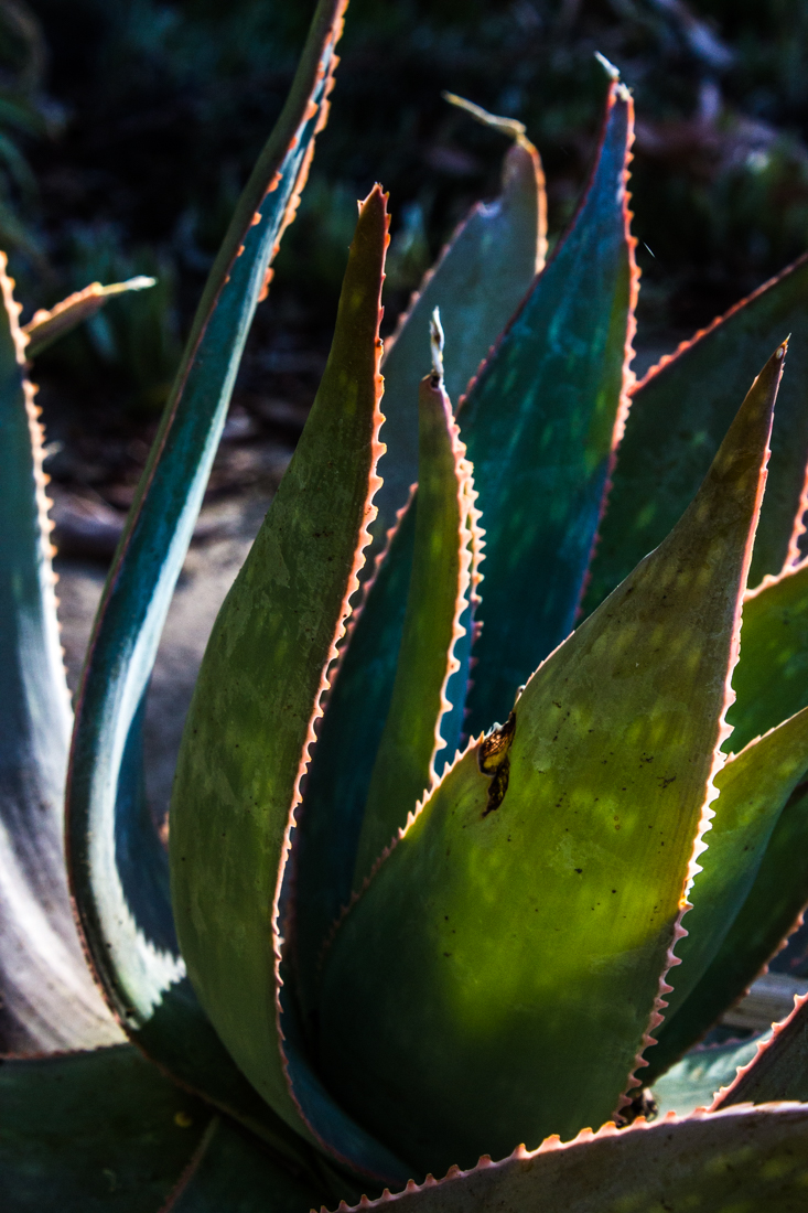 Aloes in he gardens at Matjiesfontein